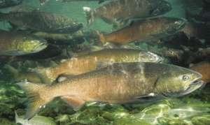 В какой рыбе встречается описторхоз