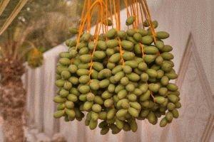 Финиковый плод