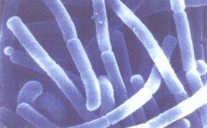 Лактобактерия ацидофилус