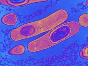 Бактерии клостридии