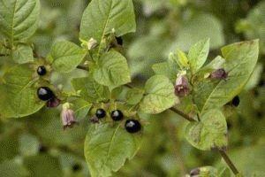Белладонна растение