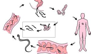 Энтеробиоз (острицы) у взрослых