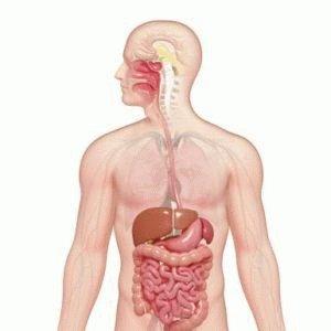 Органы пищеварения человека