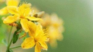 Зверобой – отличная трава