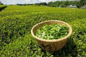 Польза зелёного чая
