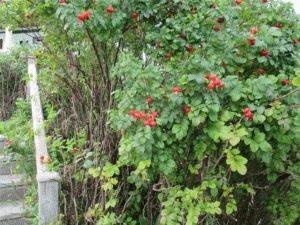 Растение шиповник