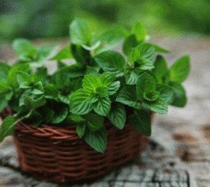 Мятное растение