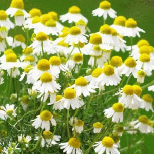 Цветки аптечной ромашки