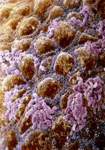 Микрофлора слизистой человека
