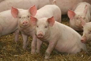 Свиньи – носители инфузорий