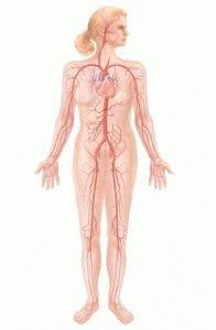 Система кровоснабжения