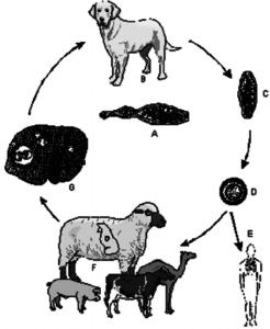 Жизненный цикл E. granulosus