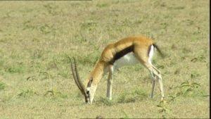 Дикая антилопа