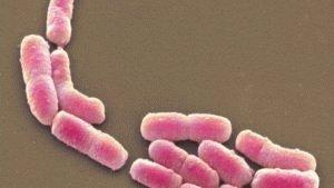 Энтеробактерии эшерихии