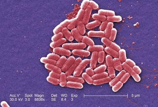 Escherichia coli (кишечная палочка)