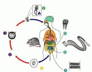 Заражение гименолепидозом
