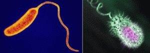 Vibrio cholerae и Vibrio eltor