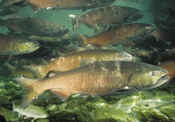 Обработка рыбы от описторхоза