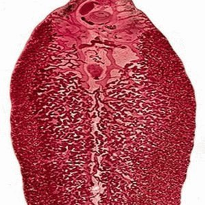 Строение печёночной двуустки