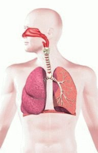 Органы дыхания человека