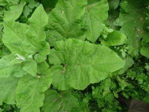 Листья репейника