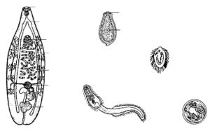Гельминты Opisthorchis