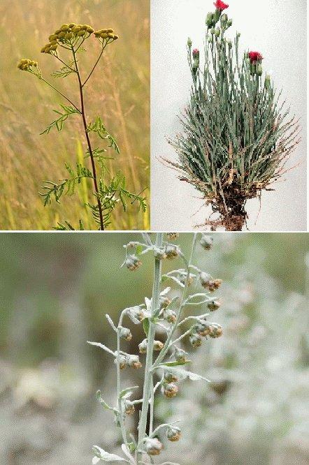 Травяной сбор трав от паразитов и глистов в организме человека