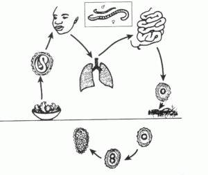 Этапы развития аскарид