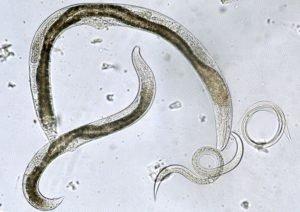 Круглый червь