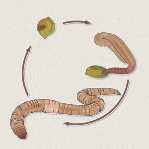 Жизненный цикл глист
