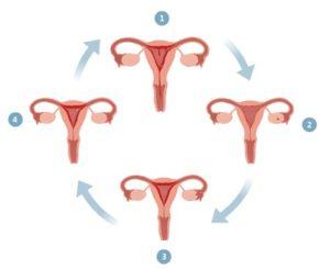 Женская овуляция