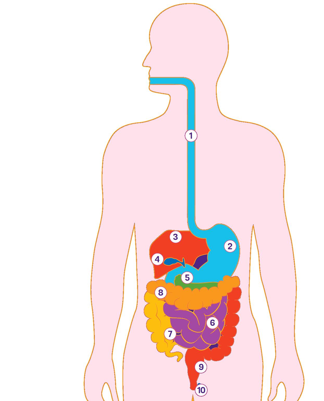 Пищеварительный тракт: что и как происходит