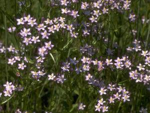Трава золототысячник