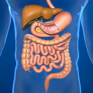 Человеческий кишечник и органы пищеварения