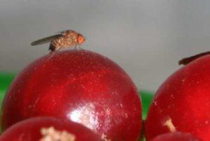 Загнившие фрукты есть нельзя